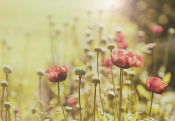 Poppy flowers field, vintage style