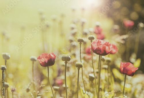 pole-kwiatow-maku-styl-vintage