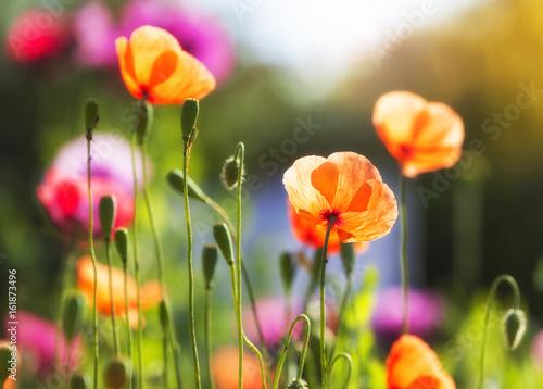 Vibrant poppy flowers in bright sunshine Poster