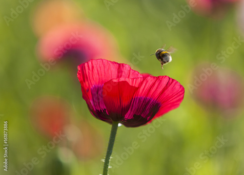 Opium poppy flower and bumble bee