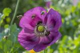 bees flying on poppy