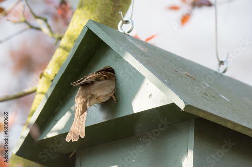 Eurasian Tree Sparrow in a Birdhouse
