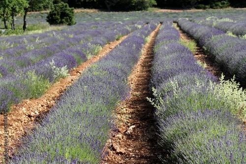 champs de lavande en Provence dans le Vaucluse