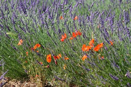 coquelicots dans un champ de lavande en Provence