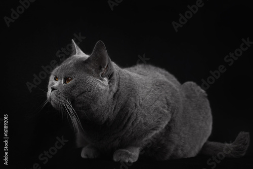 Gray shorthair British cat lying