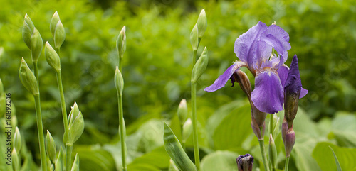 Buds and lilac iris flower in a summer park