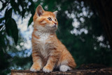 Little red kitten  - 161907677