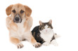 Looking dog and cat, sitting side by side. White background.