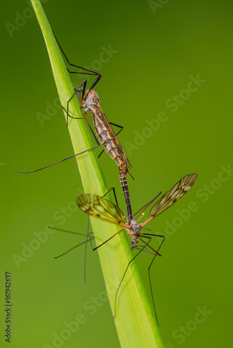 crane fly reproduction (tipula) on green branch