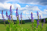 Salvia grass flower in the field and blue sky.