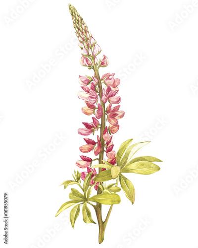 ilustracja-w-akwareli-lupine-kwiat-kwiatowy