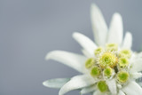 Edelweiss on gray background