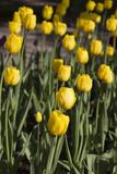 Beautiful yellow tulips. Spring flowers.
