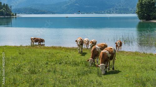 Badetag der Rinder