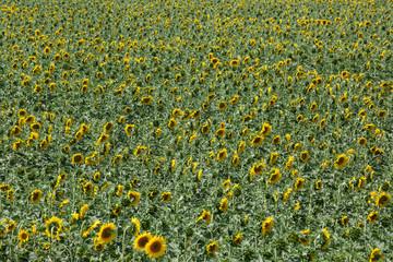 Campo di girasole, Italia