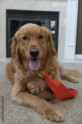 Golden Retreiver with Trump hair Poster