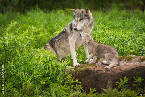 Grey Wolf (Canis lupus) Pup Begs From Adult
