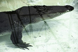 Crocodile in the swimming pool - 162012612