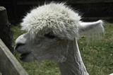 Alpaca talking - 162012669