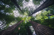 Looking up at large forest trees.