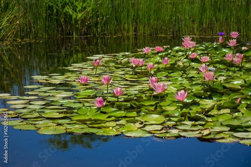 Aluminium Reznik Водяные лилии на пруду, макрофотография природа выстрел