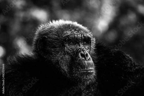 close up old chimpanzee © joesayhello
