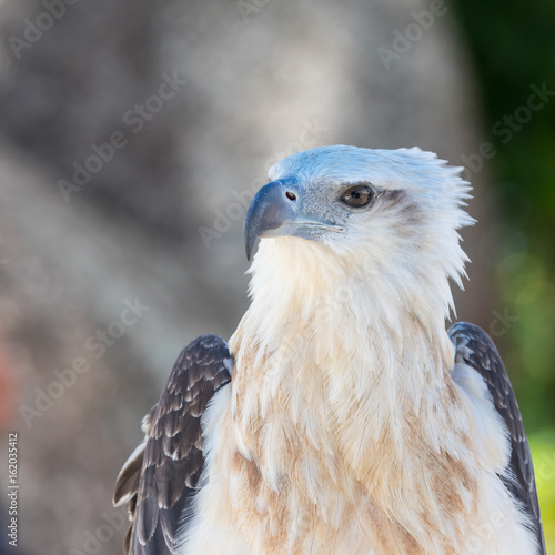 Portrait of asian sea eagle