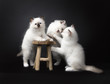 Three Sacred Birman kittens playing with a wooden stool isolated on black background