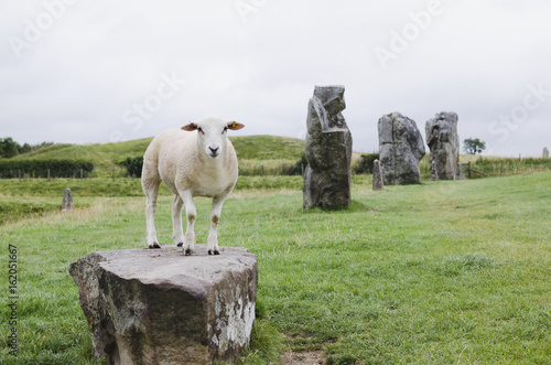 Foto op Canvas Olijf sheep standing on a rock at avebury in UK, surrounded by green grass