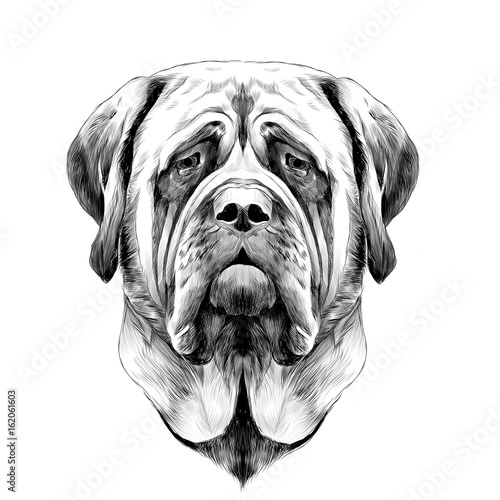 head dog breed Mastiff, sketch vector graphics black and white drawing