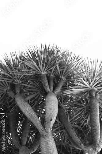 Low angle view of a Dragon Tree, Dragoeiro from Porto Santo, Madeira also found in Cape Verde
