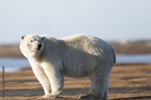 Canvas Ijsbeer Polar Bear on Tundra