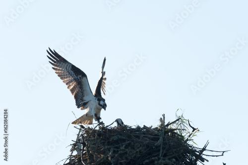 Ospray landing on nest