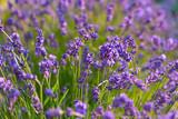 Blühender Lavendel - 162084494