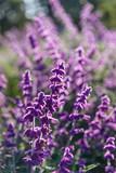 Purple lavender closeup background - 162097866