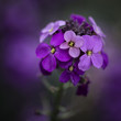 Stunning purple Spring flowers with shallow depth of field