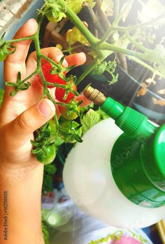 Mani di bambina che innaffia i pomodori sul balcone