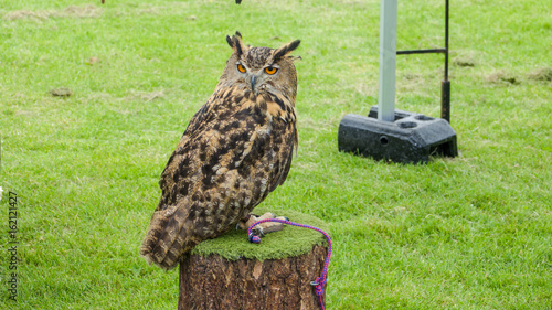 Eagle owl tethered to a roost