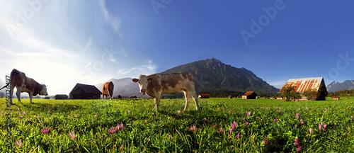 Zielona soczysta łąka z szczęśliwymi krowami
