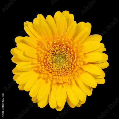 Yellow gerbera flower on white background, top view.