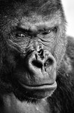 Black and white close-up of a powerful gorilla face with a thoughtful stare - 162137493