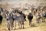 Zebras and wildebeest during the Big Migration in Serengeti National Park