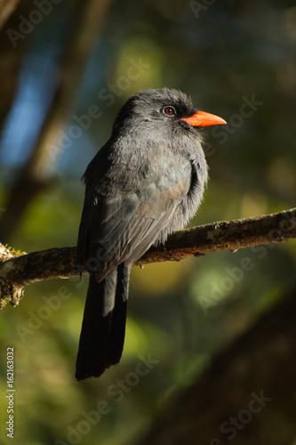 Pássaro Brasileiro