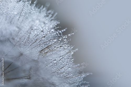 Beautiful dew drops on a dandelion seed macro. - 162165404