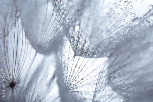 Beautiful dew drops on a dandelion seed macro. - 162165417