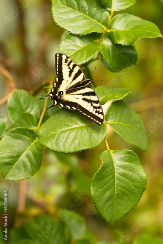 Swallowtail Butterfly Resting Rose Bush Leaf