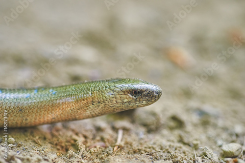 Blindworm on the ground in the forest. Anguis fragilis