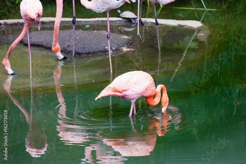 American flamingo (Phoenicopterus ruber) in captivity Poster