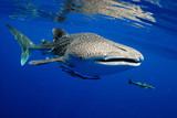 Whale shark is a big fish in the sea. - 162192060