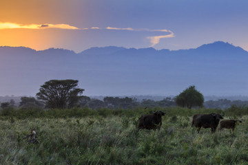 African savannah sunset with herd of buffalo